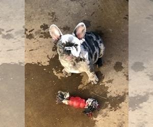 French Bulldog Puppy for sale in BUCKS BAR, CA, USA