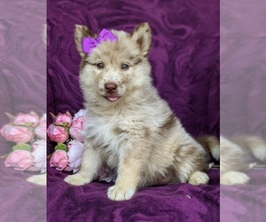 Pomsky Puppy for sale in PEACH BOTTOM, PA, USA