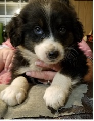 Australian Shepherd Puppy For Sale in HARDINSBURG, IN, USA
