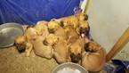 American Mastiff Puppy For Sale in AKRON, OH, USA