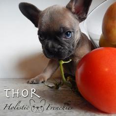 French Bulldog Puppy for Sale in LAKE GROVE, Oregon USA