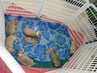 English Bulldog Puppy For Sale in CORAL SPRINGS, Florida,