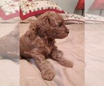 Small #1 Cavapoo-Poodle (Miniature) Mix