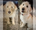 Small Photo #11 Labradoodle Puppy For Sale in PAW PAW, MI, USA