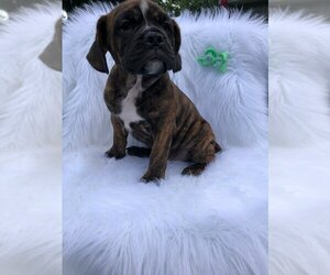 Beabull Puppy for sale in INDIANAPOLIS, IN, USA