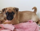 Puggle Puppy For Sale in MACUNGIE, PA,