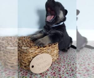 German Shepherd Dog Puppy for Sale in GAFFNEY, South Carolina USA