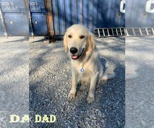 Father of the Golden Retriever puppies born on 05/11/2021