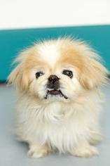Mooshu - Pekingese Dog For Adoption