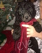 Small Photo #12 Poodle (Standard) Puppy For Sale in TRYON, NC, USA