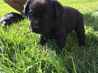 labrador puppies for sale michigan
