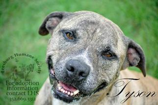 Tyson - Pit Bull Terrier / Labrador Retriever / Mixed Dog For Adoption