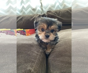 Yorkshire Terrier Puppy for sale in MANTUA, NJ, USA