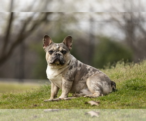 Father of the French Bulldog puppies born on 10/26/2020
