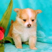 Chorkie Puppy For Sale in GAP, Pennsylvania,