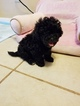 Poochon Puppy For Sale in SAVANNAH, GA, USA