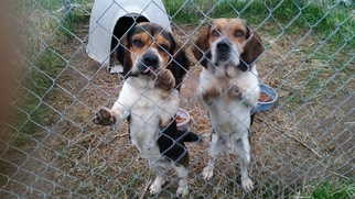 Bagle Hound Dogs for adoption in MONTEREY, IN, USA