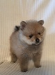 Pomeranian Puppy For Sale in NORTH RICHLAND HILLS, TX,