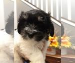 Puppy 0 Havanese
