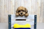 Poodle (Toy)-Yorkshire Terrier Mix Puppy For Sale in PORTSMOUTH, OH, USA