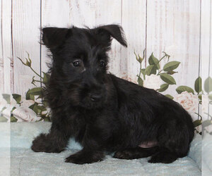 Scottish Terrier Dog for Adoption in PENNS CREEK, Pennsylvania USA