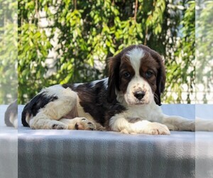 English Springer Spaniel Puppy for sale in BIRD IN HAND, PA, USA