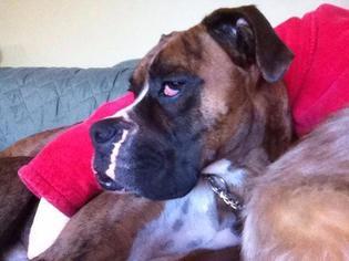 RUFUS - Boxer Dog For Adoption