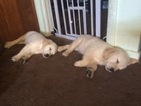 Golden Retriever Puppy For Sale in PERRYSBURG, OH