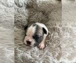Small #6 Faux Frenchbo Bulldog