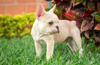 Bulldog Puppy For Sale in CUTLER BAY, FL, USA