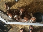 Full blooded basset hound puppies
