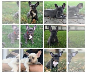 French Bulldog Puppy for sale in OLYMPIC VIEW, WA, USA