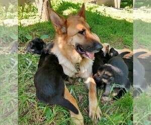 Mother of the German Shepherd Dog puppies born on 04/09/2021