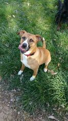 American Staffordshire Terrier Mix Dog For Adoption in RICHMOND, KY, USA
