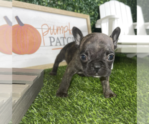 French Bulldog Puppy for sale in SUN VALLEY, CA, USA