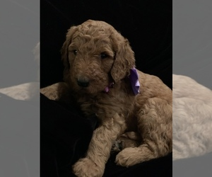 Goldendoodle-Poodle (Standard) Mix Puppy for Sale in CHICKASHA, Oklahoma USA