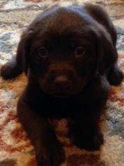 Labrador Retriever Puppy For Sale in OLYMPIA, WA