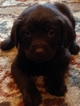 Labrador Retriever Puppy For Sale in OLYMPIA, WA
