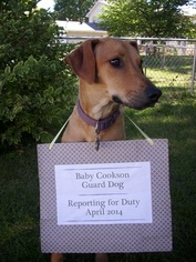 Rhodesian Ridgeback Puppy For Sale in SPRINGFIELD, IL