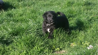 Shepadoodle Puppy For Sale in ROCKPORT, IL