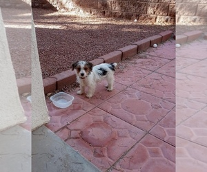 Yorkshire Terrier Puppy for sale in BOULDER CITY, NV, USA