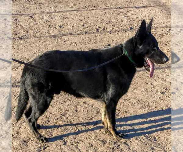 Medium Photo #8 German Shepherd Dog Puppy For Sale in EL CENTRO, CA, USA