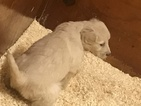 Small #7 Goldendoodle