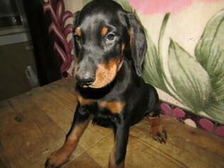 Doberman Pinscher Puppy for sale in HUDSON, MI, USA