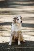 Australian Shepherd Puppy For Sale in ANACORTES, Washington,