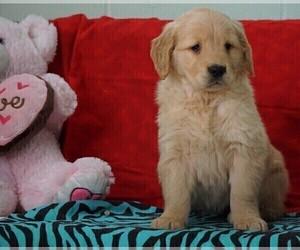 Golden Retriever Puppy for Sale in FREDERICKSBG, Ohio USA