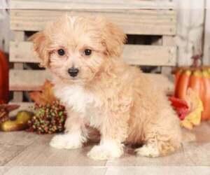 Bichpoo Dog for Adoption in MOUNT VERNON, Ohio USA