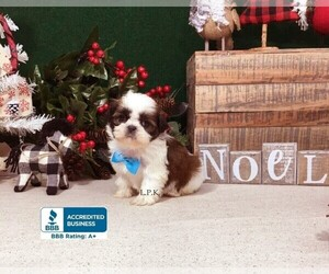 Shih Tzu Puppy for Sale in WINNSBORO, Louisiana USA