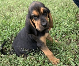 Bloodhound Puppy for sale in LOUISBURG, NC, USA