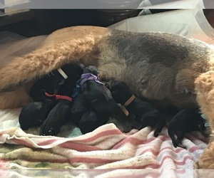 Airedale Terrier Puppy for sale in CROSSVILLE, TN, USA